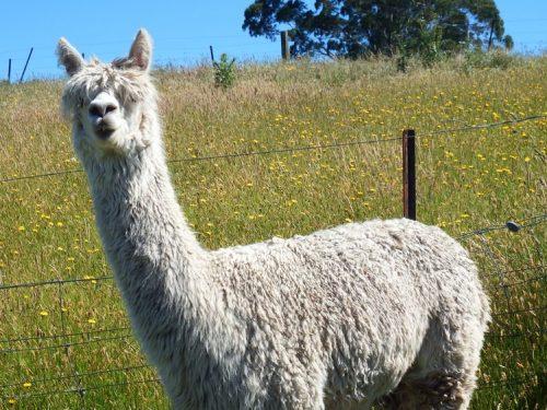 Suri alpaca