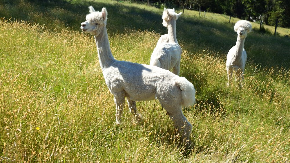 Potential and Certifiied Stud Males