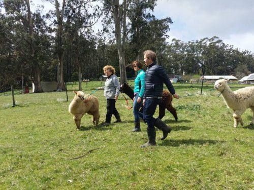 alpacawalk3
