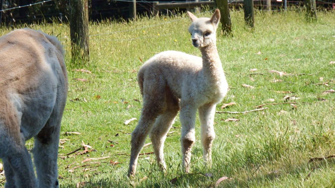 Newborn alpaca