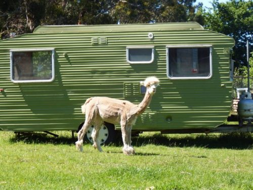 Caravan farmstay with alpaca view
