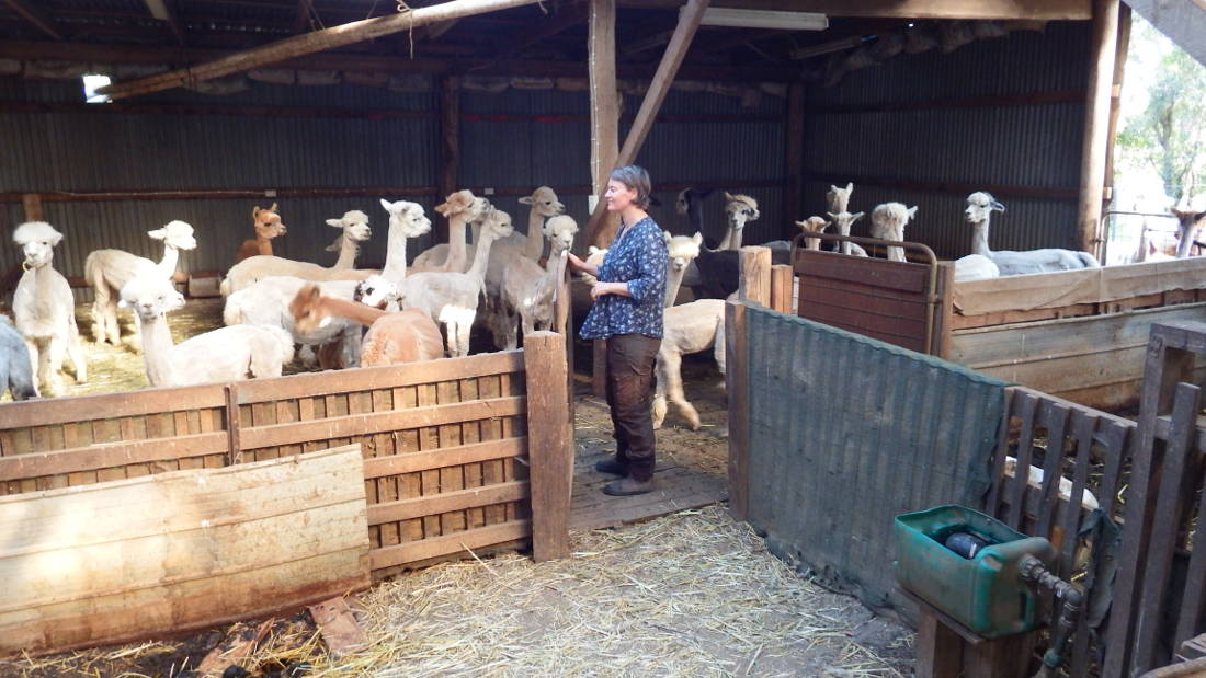 Hildegunn and the alpacas